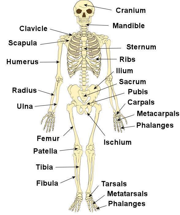 استخوانبندی